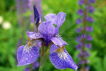 Bright one blue iris