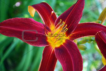 Bright flowers lily