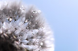 Dandelion with water drops