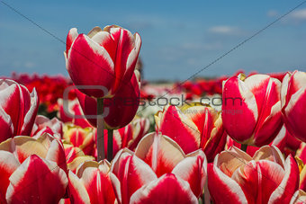 Field of red white tulips