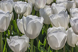 Group of white tulips