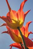 Orange and yellow lily flowered tulip