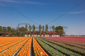 Orange and pink tulip field and a farm