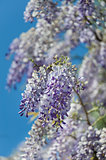 wisteria plant during spring