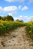 Path leads through a field of yellow oilseed rape