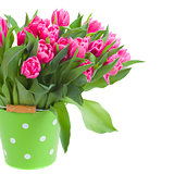pink double tulips in green pot  close up