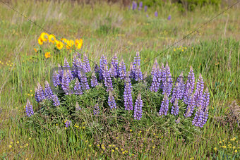 Broadleaf Lupine Flowers Blooming in Spring
