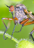 Robber fly insect