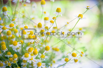camomile flowers on a field