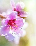 Peach blossom in spring.