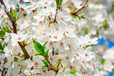 Spring blossom: branch of a blossoming apple tree on garden back