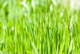 Fresh green grass in sunshine(Shallow Dof)