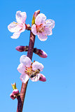 Peach blossom in spring. bee collects honey on a flower
