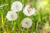 Dandelions under sun rays.