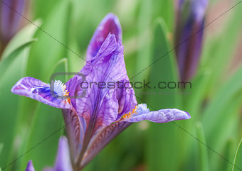 blue irises blossoming in a garden