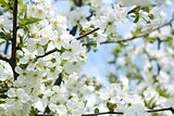 Rapid flowering of sweet cherry tree