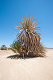 Date palm tree in desert landscape