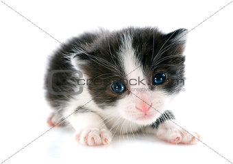 blacl and white kitten