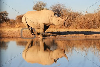 Black Rhino - Wildlife Background from Africa