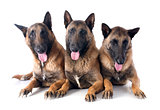 three malinois
