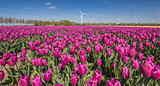 Field of purple tulips and a wind turbine