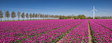 Panorama of a field of purple tulips and a wind turbine