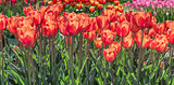 Group of orange red tulips