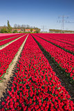 Field of red tulips and a house
