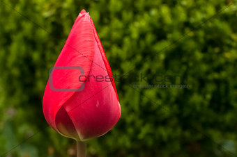 Red tulip head cup