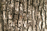 Old pear tree bark closeup
