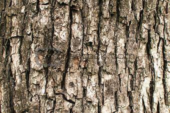 Old pear tree bark closeup