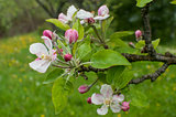 Apple tree blossoms closeup