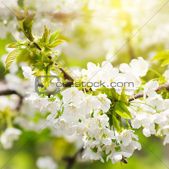 Spring Blossom Flower Background