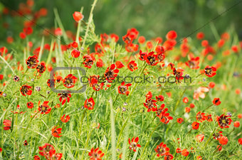 Pheasant's eye (Adonis flammea)  Background