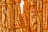 Dried sweet yellow corn