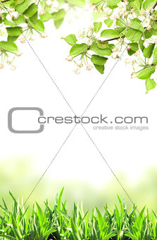 Flowers of apple and green grass