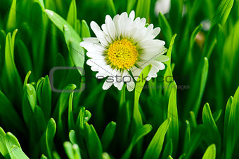 beautiful daisy in green lawn
