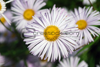 Bright flowers camomile