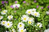 Spring White Daisies