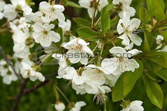 Pear tree blossoms closeup