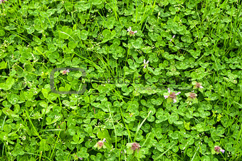 Clover meadow closeup