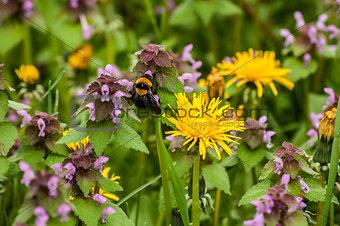 Dandelion, nettles and bumblebee