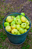 harvest of green apples in a bucket