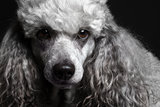 closeup portrait gray poodle