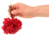 Hand holds the brush viburnum