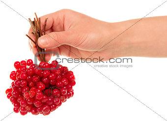 Hand holds the brush viburnum