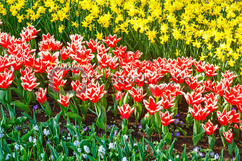 Beautiful red-white tulips and yellow narcissus