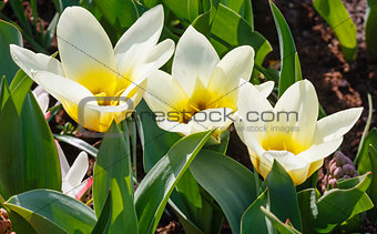 Beautiful three white-yellow tulips close-up