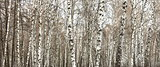 Closeup of a birch trees in summer