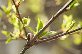 young leaves of cherry-bird tree in spring morning